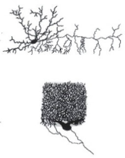 Interneuron vertebrata