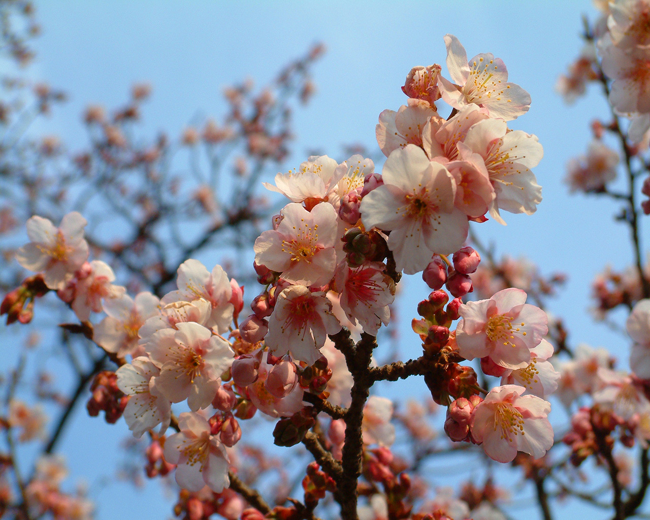 wallpapers natural cherry blossom pictures free. Black Bedroom Furniture Sets. Home Design Ideas