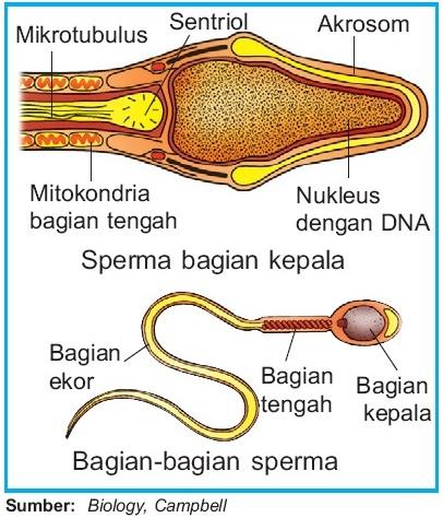 Proses pembentukan sel sperma spermatogenesis pada pria manusia struktur sperma ccuart Choice Image
