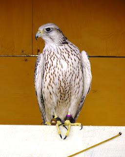 Bird of Prey at Renaissance Festival in Deerfield Beach