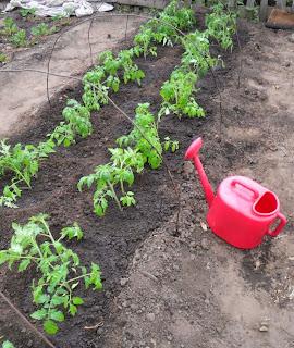 17.05. После высадки помидоры поливаю теплой отстоенной водой.