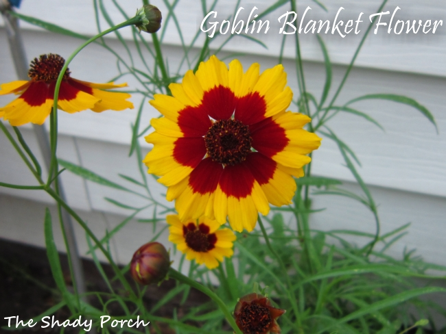 Goblin Blanket Flower from The Shady Porch #garden #flowers #gardening