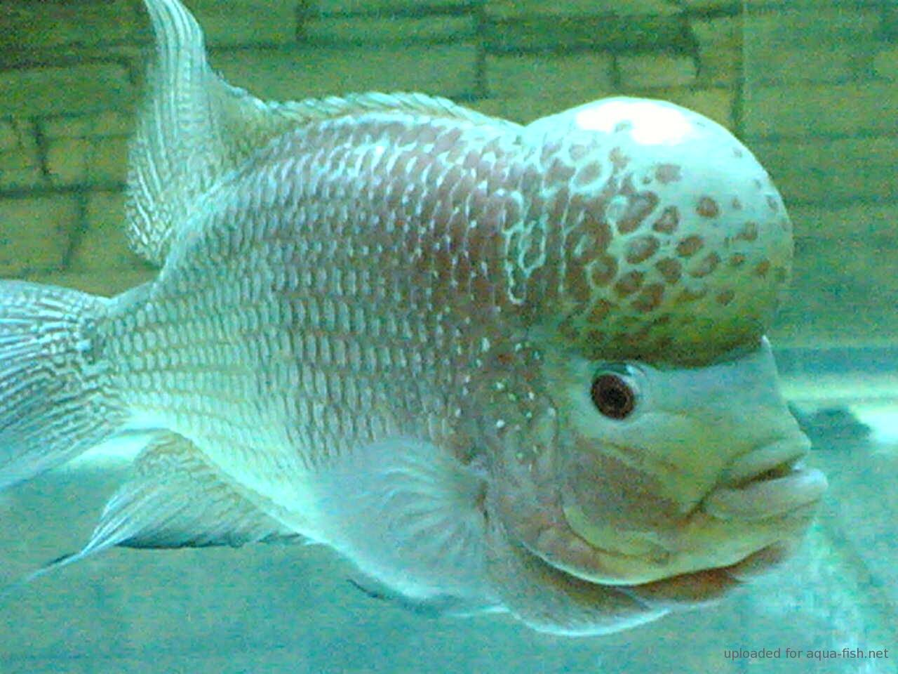 Flowerhorn The Hybrid Cichlids How to Know Male or Female Flowerhorn Fish