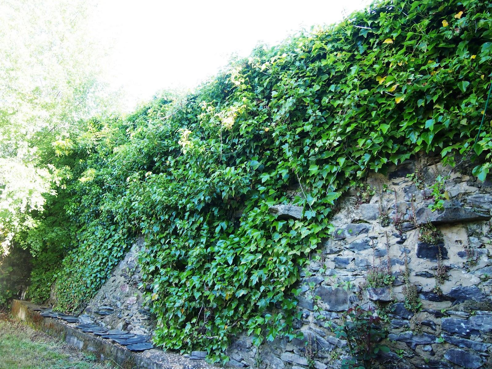 Bloc de bot i bolera sobre la hiedra y su aniquilaci n for Plantas de hojas perennes para jardin