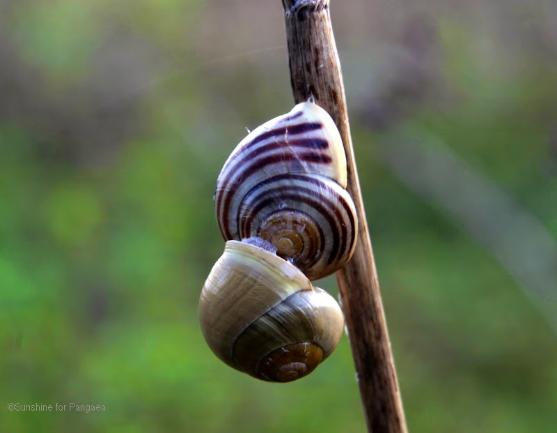 Two snails on a grass stalk