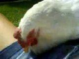 Caterina gallina salvata: ... il dono più bello ricevuto dall'esistenza ♥