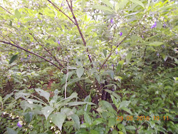 "The ""Karvi Shrubs"".Tall shrubs with flowers and flower buds."