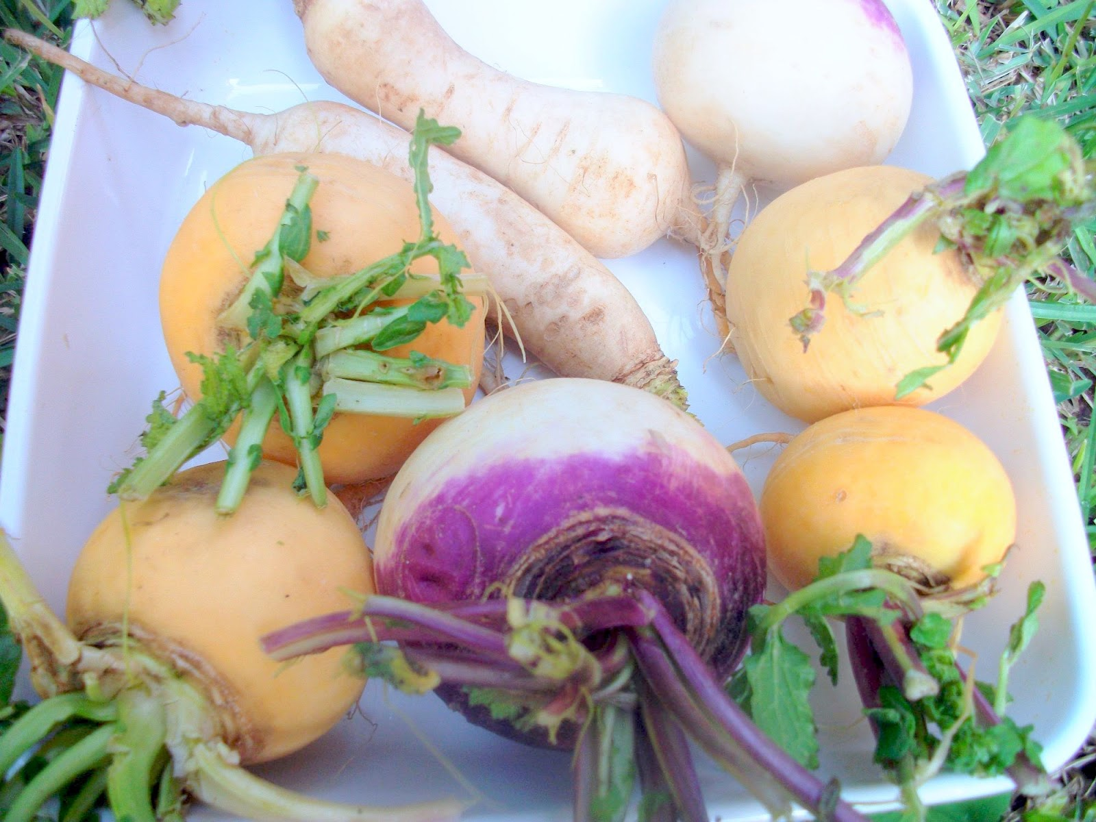 Sorts of turnips widely available in Morocco (photo taken there). The ...