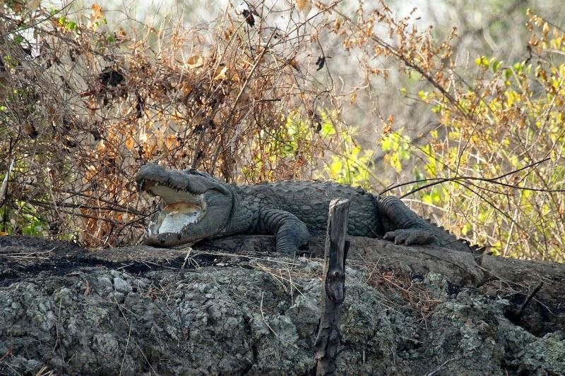 goa-cumbharjua-canal-crocodile