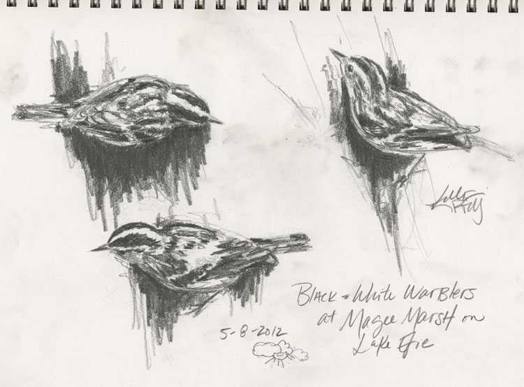 Pencil sketches of a Black and White Warbler by Kelly Riccetti