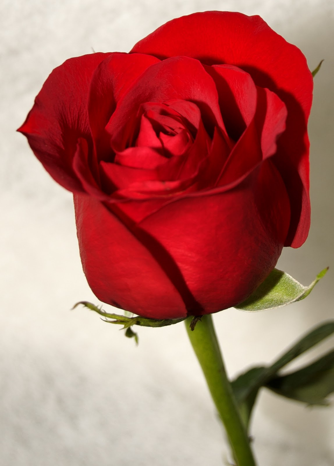 lovely rose wallpaper Photo
