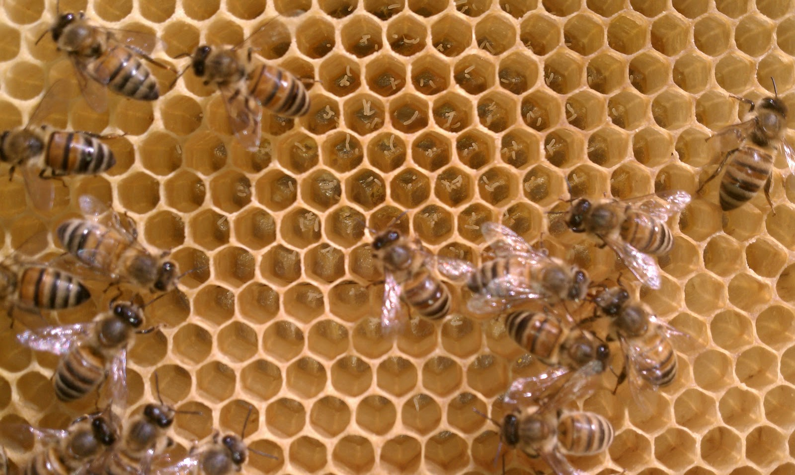 queen bee laying eggs - photo #37