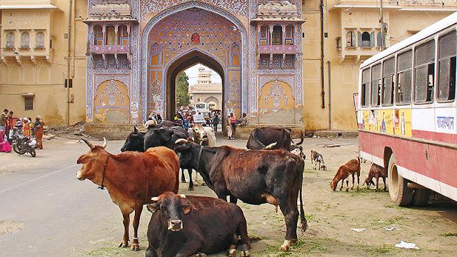 Vaches devant la porte du City Palace à Jaipur