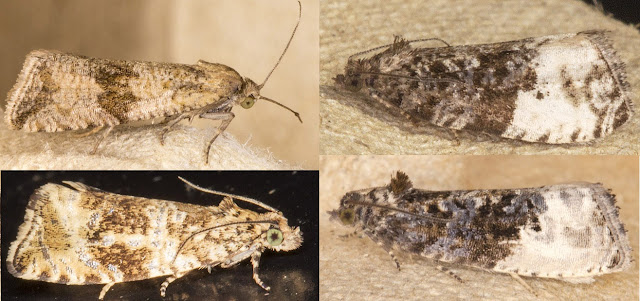 Four Tortrixes.  Celypha striana and Celypha lacunana on the left.  Plum Tortrix, Hedya pruinana, and Marbled Orchard Tortrix, Hedya nubiferana, on the right.  West Wickham Common light trap, 29 June 2013.