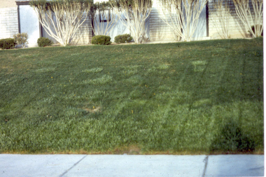 Xtremehorticulture of the Desert: Fall Lawn Replacement in the Hot ...