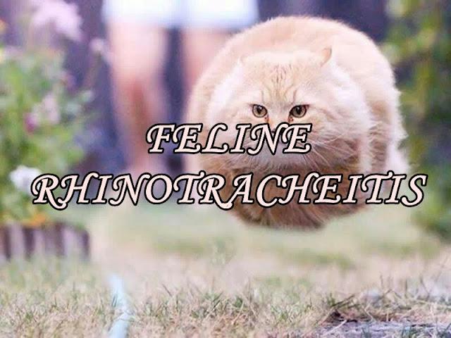 FELINE RHINOTRACHEITIS hawar kucing cara rawatan
