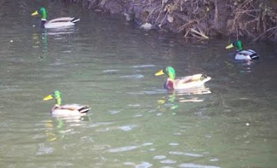 Asturias, patos en charca