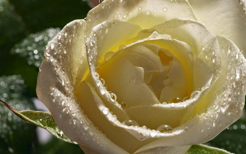 White Rose With Water Drops Wallpaper White Flower Rain Water Drops