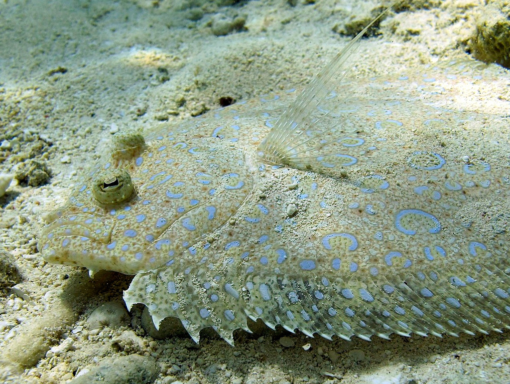 Real monstrosities peacock flounder for Picture of a flounder fish