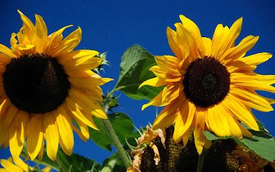 Beautiful Sunflower Widescreen Wallpaper 4