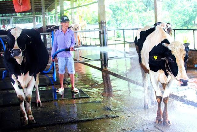 nuôi bò sữa tại Thanh Hóa