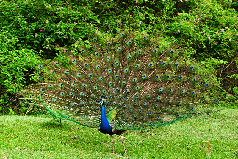 peacock short essay Essay on peacock (national bird of india the main difference between the two types is that the indian peacock has a tuft of short feathers short essay on.