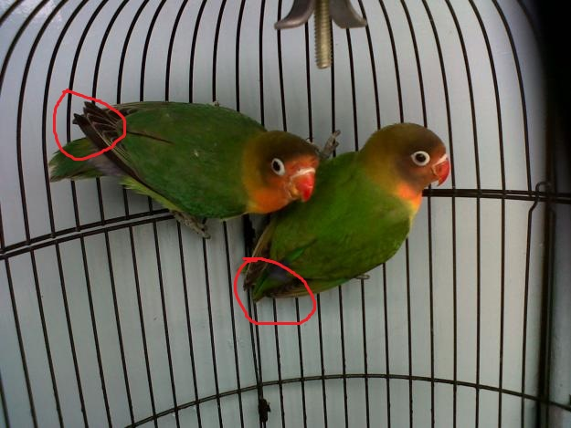 wisata kicau bird farm cara budidaya ternak burung