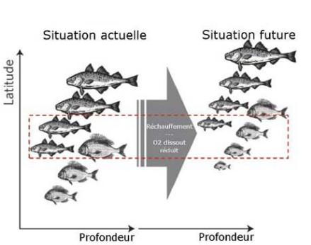 Des poissons plus petits vivant à de  plus hautes latitudes  Cheung et al. 2012