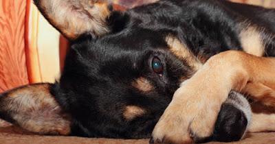 Khi mắc bệnh viêm bờ mi, chú chó của bạn sẽ vô cùng đau nhức và ngứa ngáy