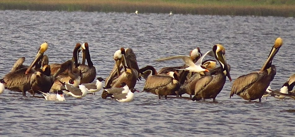 Brown Pelicans at Rollover Pass