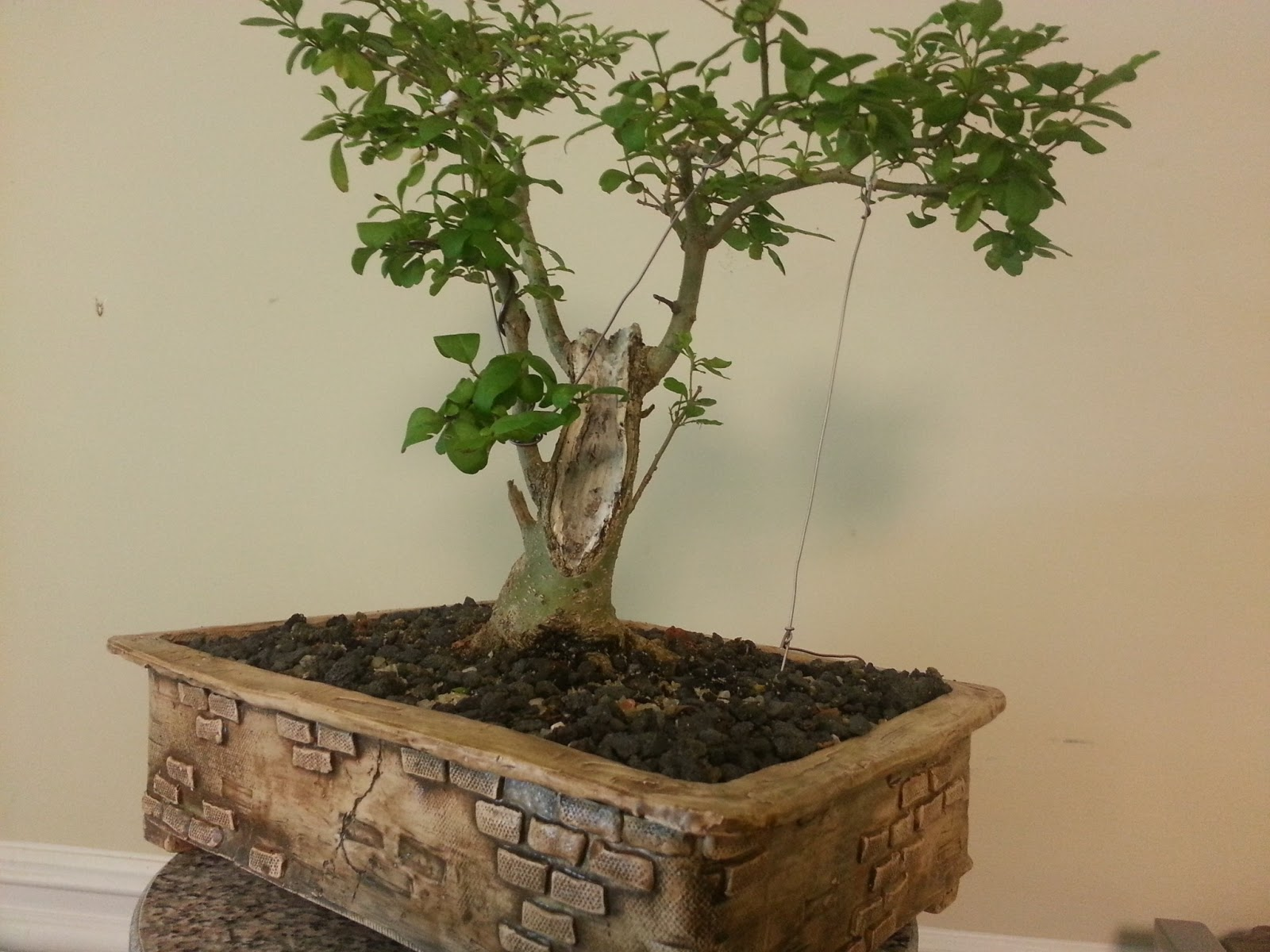 Bodhisattva Bonsai Privet Bonsai Loses A Trunk Seems Happier
