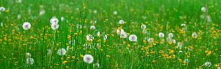 Dandelions and Yellow Flowers HD Wallpaper