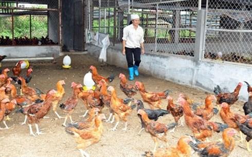 Chăn nuôi nông hộ nhỏ lẻ đang chiếm đa số trong ngành chăn nuôi của Việt Nam (Ảnh minh họa: KT)