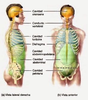 http://4.bp.blogspot.com/-tE_cMGbNgq0/U9Jx4CguhRI/AAAAAAAAH7M/m1LoKuTJvMU/s1600/cavidades+corporales+1.jpg