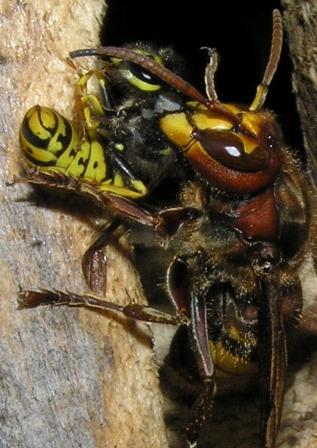 hornissenschutz was ist die nahrung der hornissen. Black Bedroom Furniture Sets. Home Design Ideas