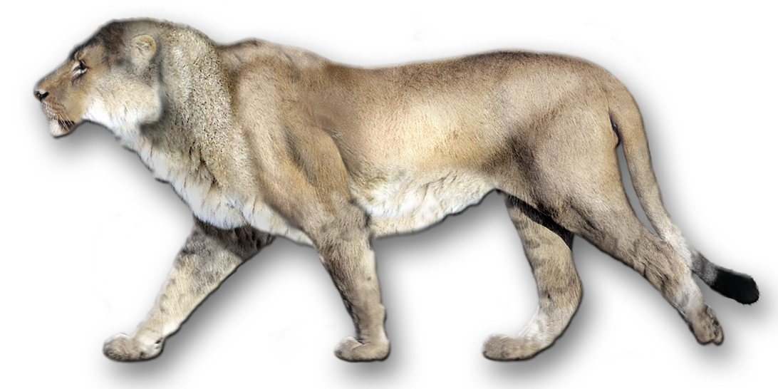 Leones (Panthera leo atrox) colombia salvajes animales