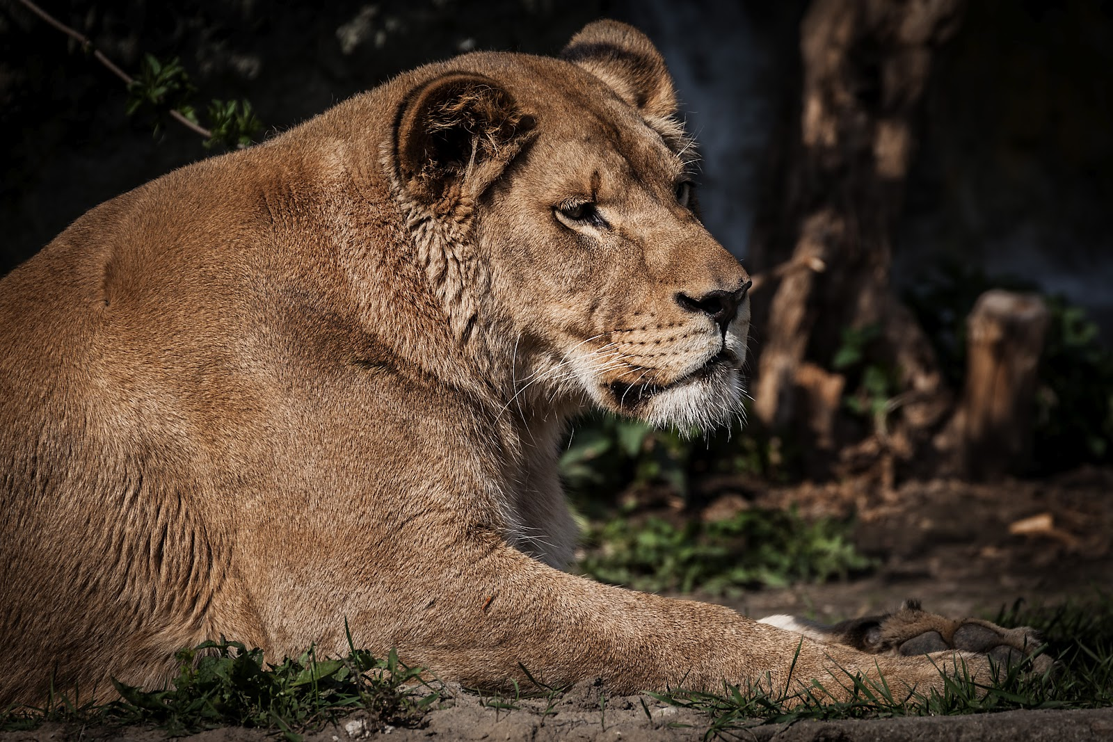 Resting lioness in Warsaw Zoo
