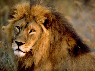 Foto Singa Sang Penguasa Hutan
