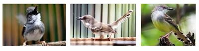 Cara beternak Burung Ciblek dengan mudah