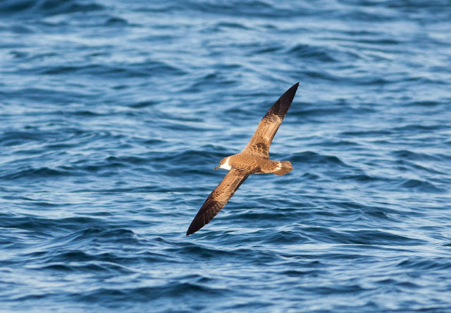 Great Shearwater - Scilly