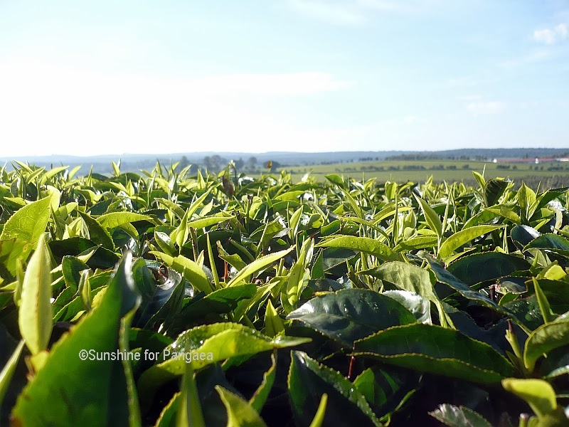 Tea bushes in Kenya