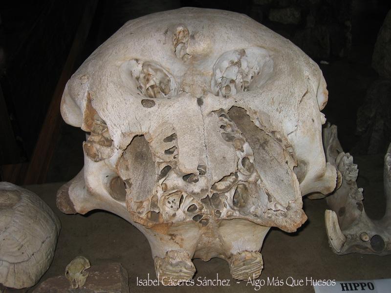 Cráneo de hipopótamo