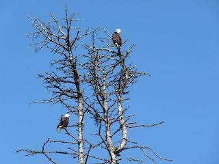 Bald Eagles seen at Olympic Discovery Train near Railroad Bridge