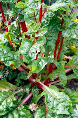 august-in-the-garden-chard