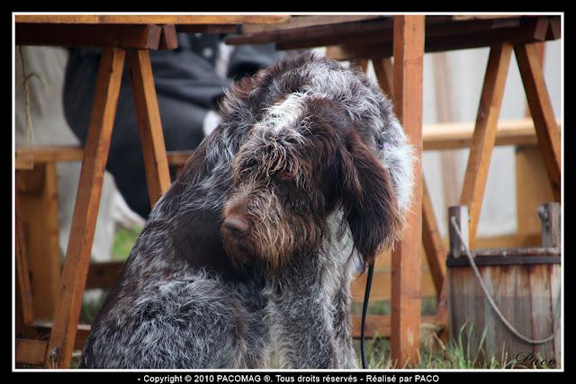 chien dans le campement lors de la Reconstitution du bicentenaire du siège de rocroi