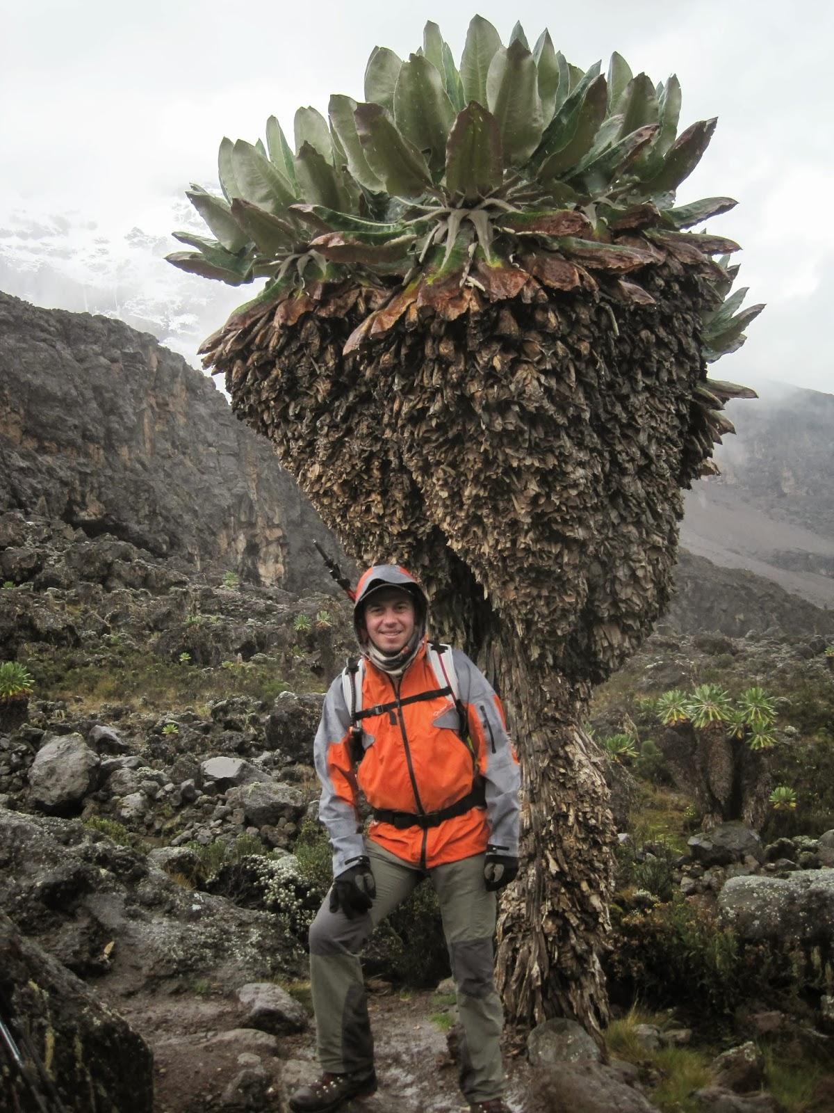 ENLACIMA-Lipe-junto-a-senecios-gigantes-Kilimanjaro-Ruta-Machame