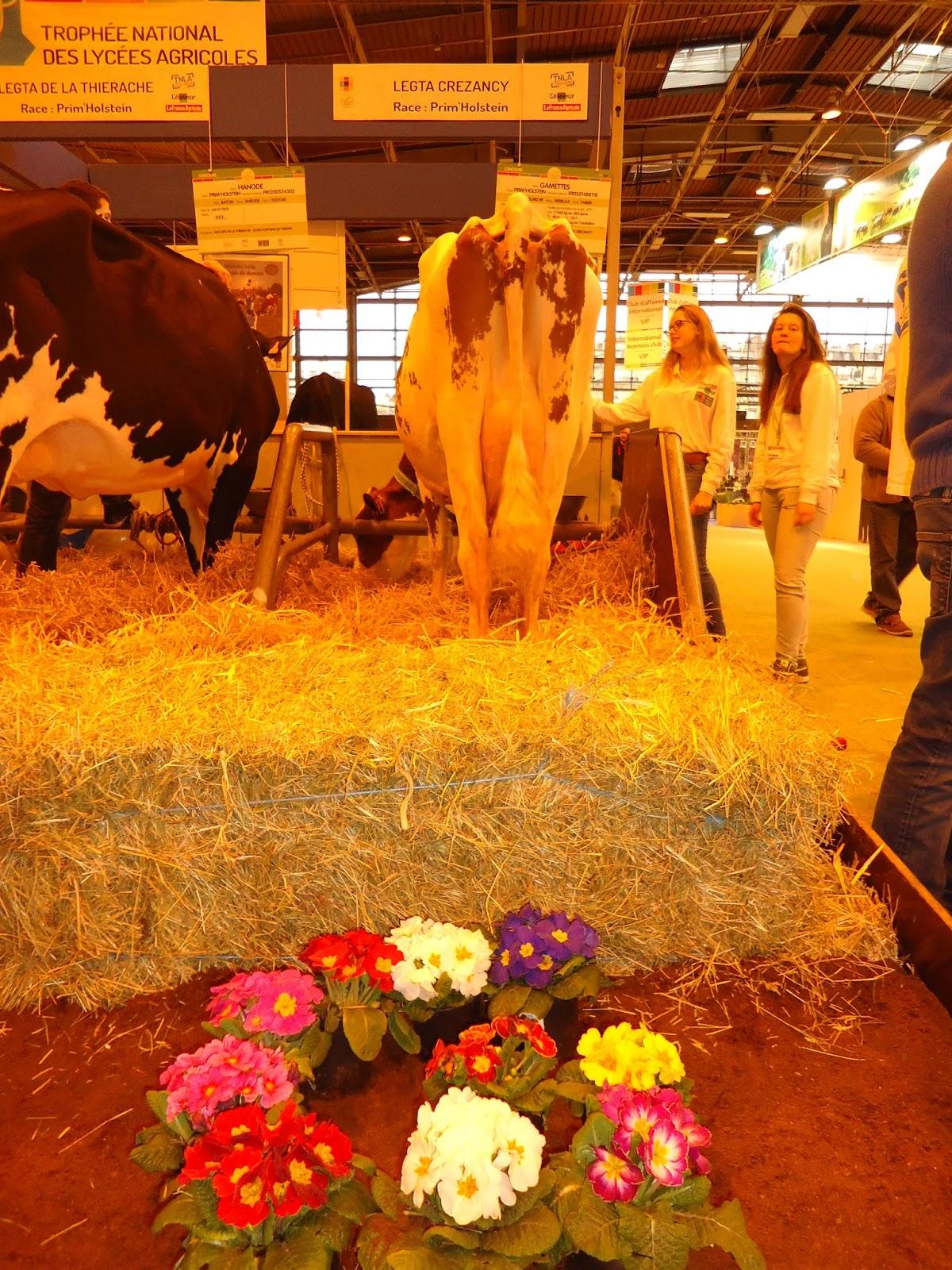 Ci dessus , GAMETTES , la vache du TNLA 2015 était prête ; petites fleurs  de décoration , la queue peignée , les juges vont bientôt passer pour  conduire