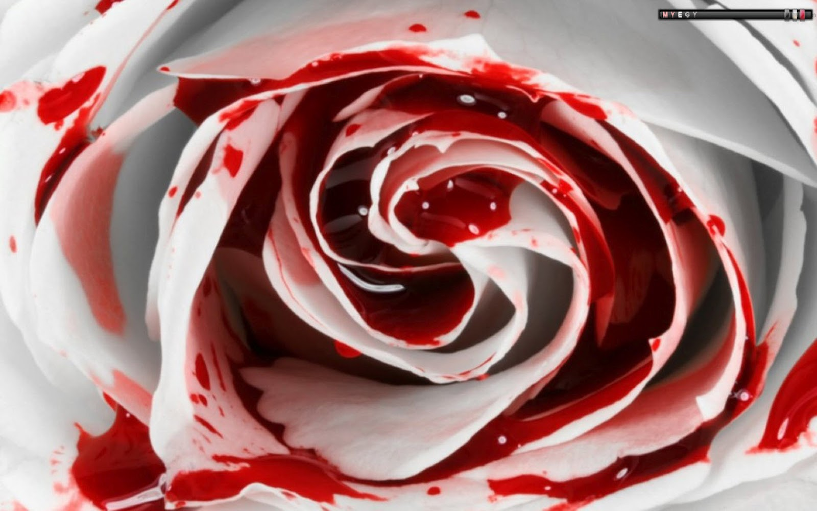 bleeding black rose wallpaper