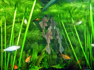 Plecostomus Picture