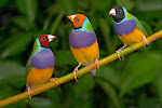Lady Gouldians